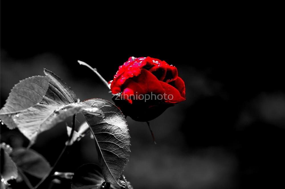 Black White with a splash of red by zihniophoto