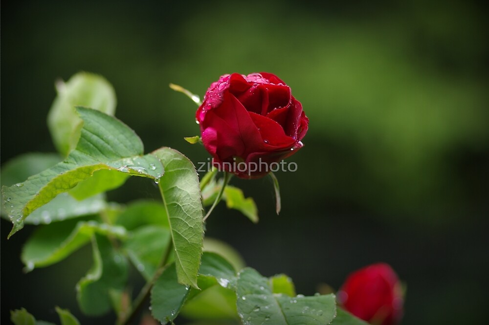Red rose by zihniophoto