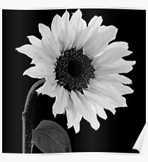 Sunwashed White Sunflower Poster