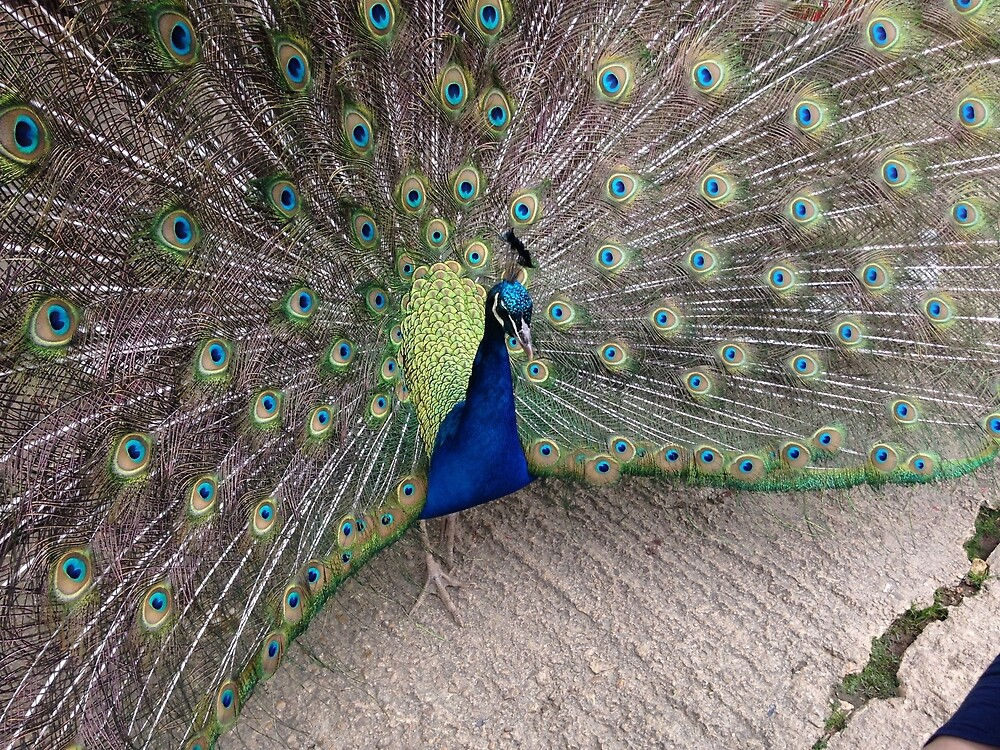 Inquisitive peacock by pixiealice