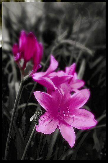 Pink Day Lily by mindydidit