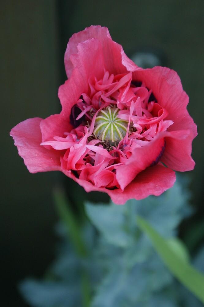 pink poppy by cadburylove