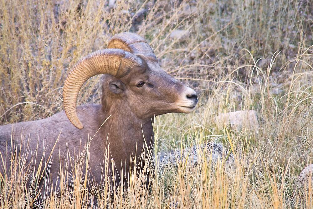 Young Bighorn Ram in Grass by Kim Barton