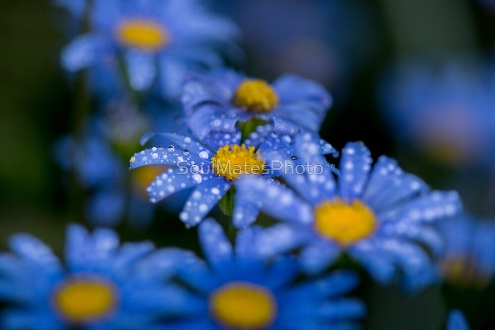 Blue Daisy by SoulMatesPhoto