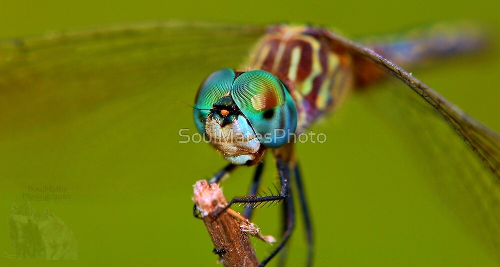 Dragonfly by SoulMatesPhoto
