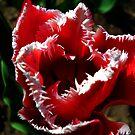 Tulip with White Shine. by Vitta