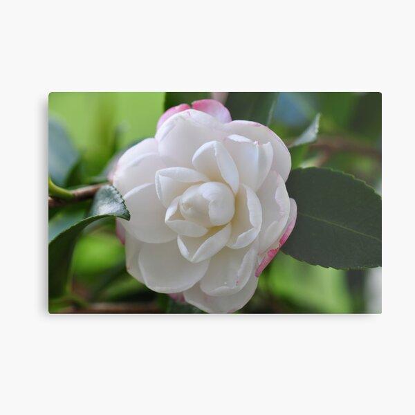 Beautiful Camellia Metal Print