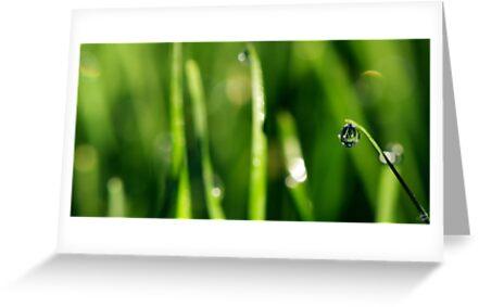 Dew Drop by Lisa Knechtel