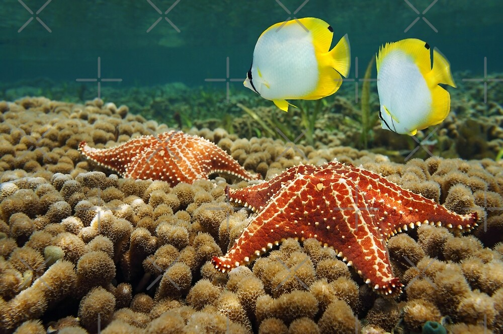 Starfish underwater over coral with butterflyfish by Dam - www.seaphotoart.com