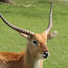 Kafue Flats Lechwe by madelineann