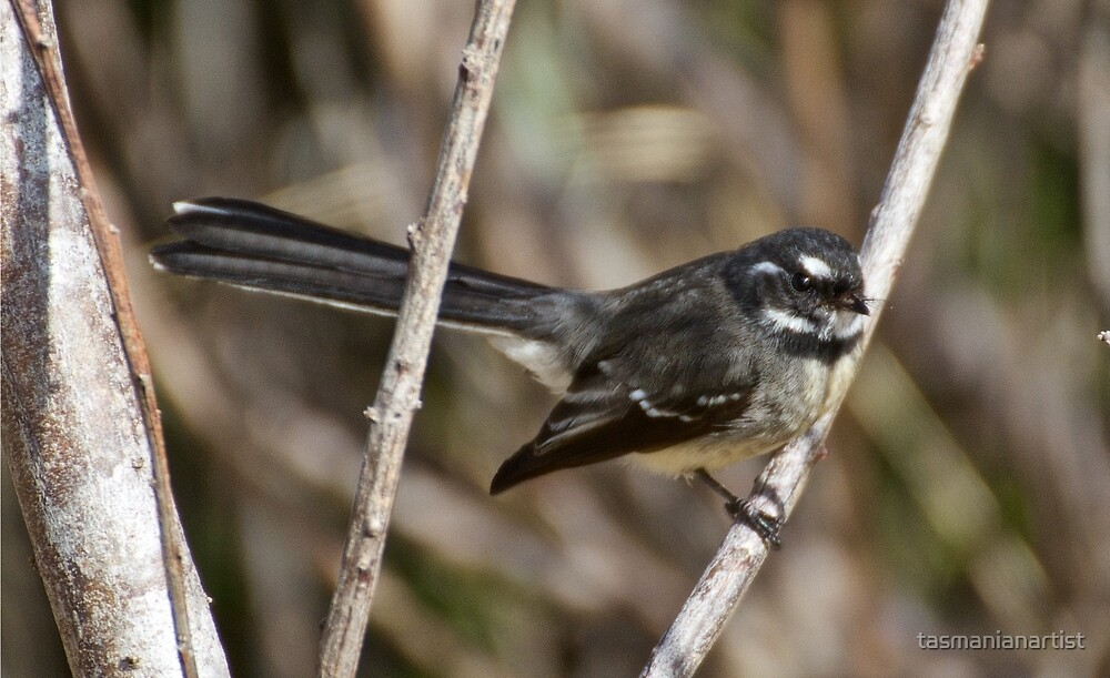 Grey Fantail by tasmanianartist