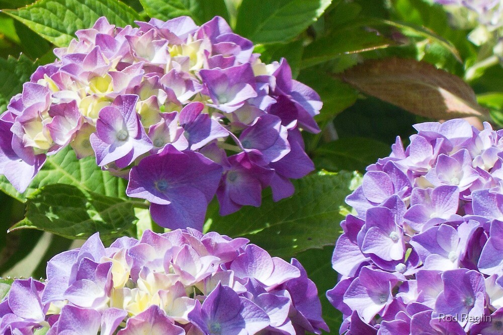 Hydrangea Happenings 3 by Rod Raglin