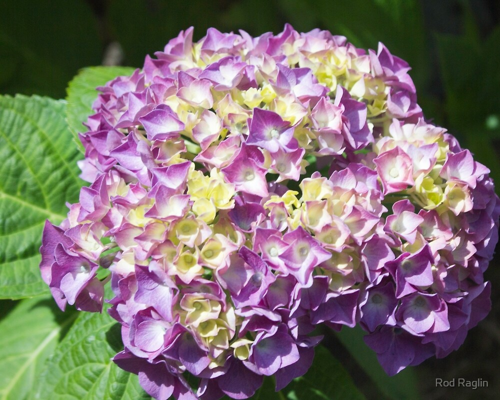 Hydrangea Happenings 2 by Rod Raglin