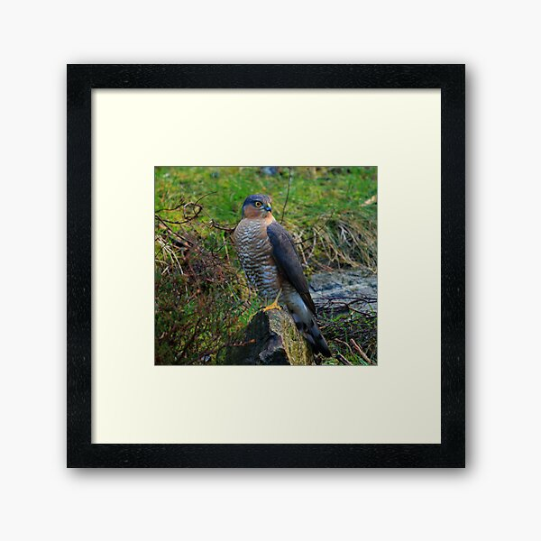 Sparrowhawk #14 Framed Art Print