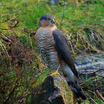 Sparrowhawk #14 by Alexanderargyll