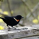Red-winged Blackbird!! by apollon