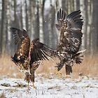 White-Tailed Eagles by Dominika Aniola