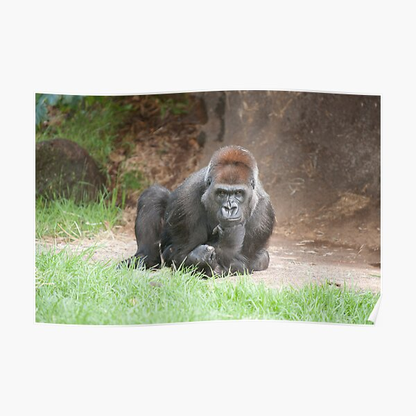 Western lowland gorilla in thought Poster