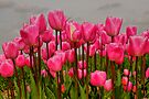 Lovely Pink Tulips on a Grey Day by Jo Nijenhuis