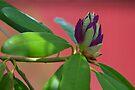 Azaleas To Be ...Soon! by Gene Walls