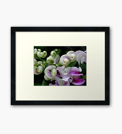Snail Creeper Vine Framed Print
