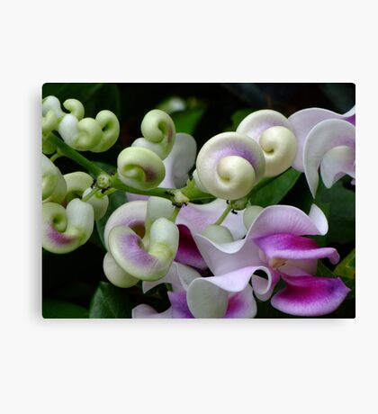 Snail Creeper Vine Canvas Print
