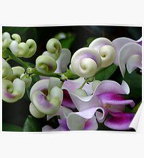 Snail Creeper Vine Poster