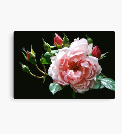 Albertine Rose Canvas Print