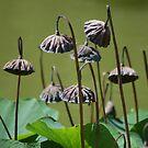 Lotus flower seed pods growing in pond (Japanese Garden) by loiteke