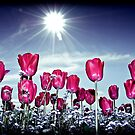 Tulips  by adriangeronimo