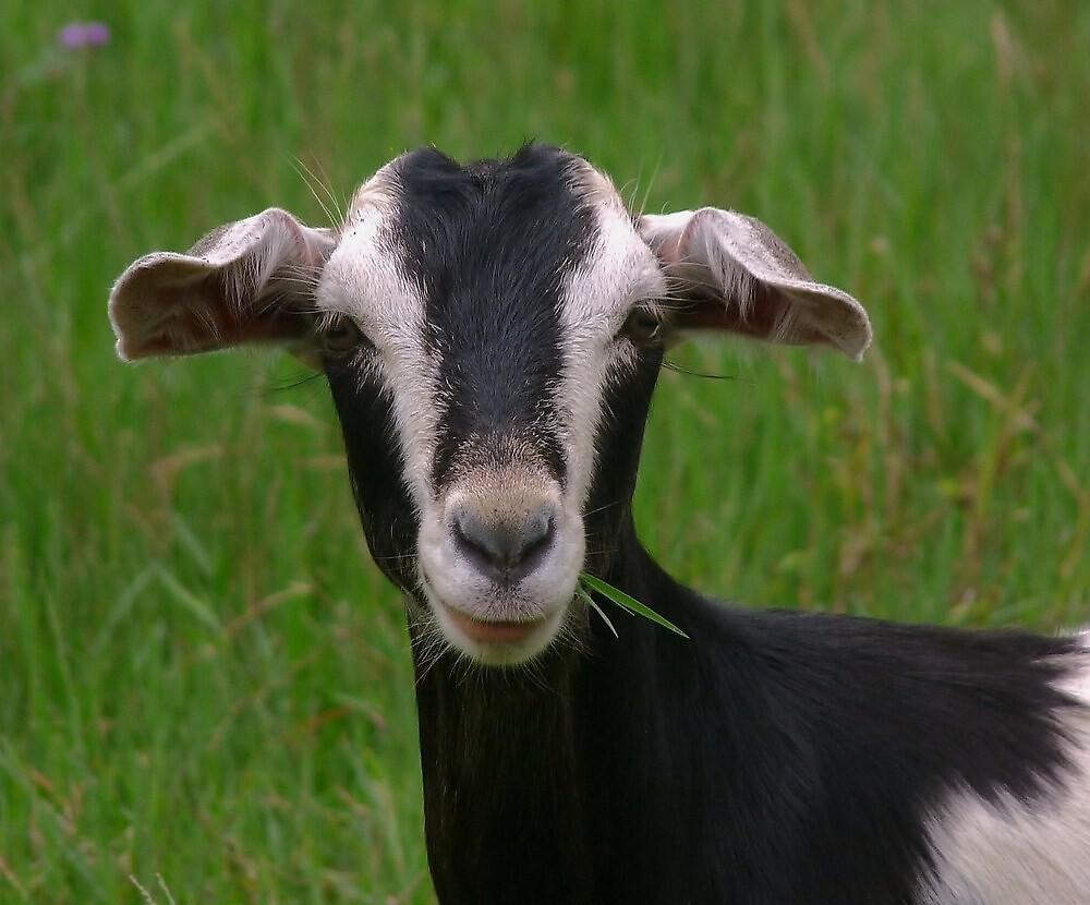 Quot Black Goat Quot By Barbara Morrison Redbubble