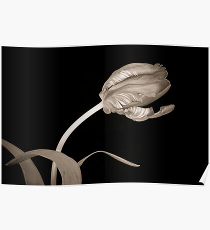 Tulip in Sepia Poster