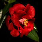 Red Camellia by Zina Stromberg