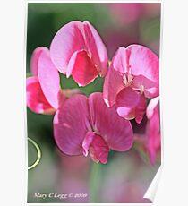 Sweet pea, Lathyrus odoratus Poster