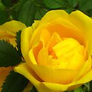 Sunny roses by Maria1606