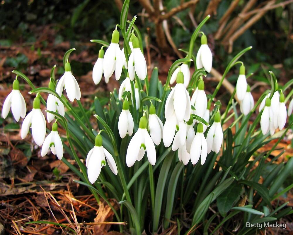 Snowdrops in my Garden by Betty Mackey