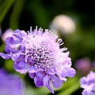 Purple Pincushion by SESE