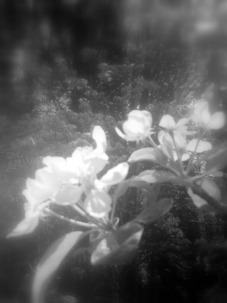 apple blossoms #2, black and white by Dawna Morton