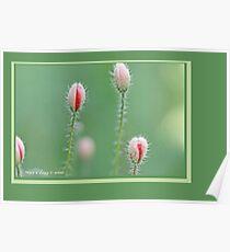 Field poppies, Papaver rhoeas B Poster