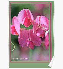 Sweet pea, Lathyrus odoratus B Poster