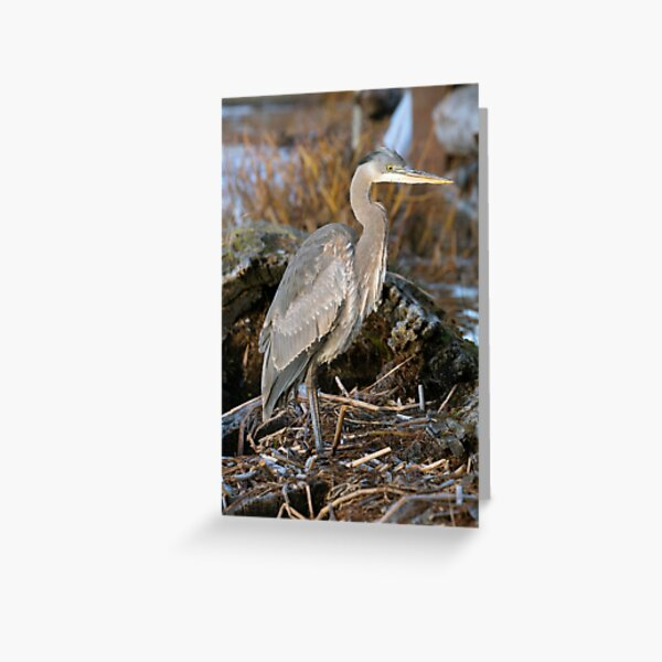 Great Blue Heron Standing by the Wetlands Greeting Card