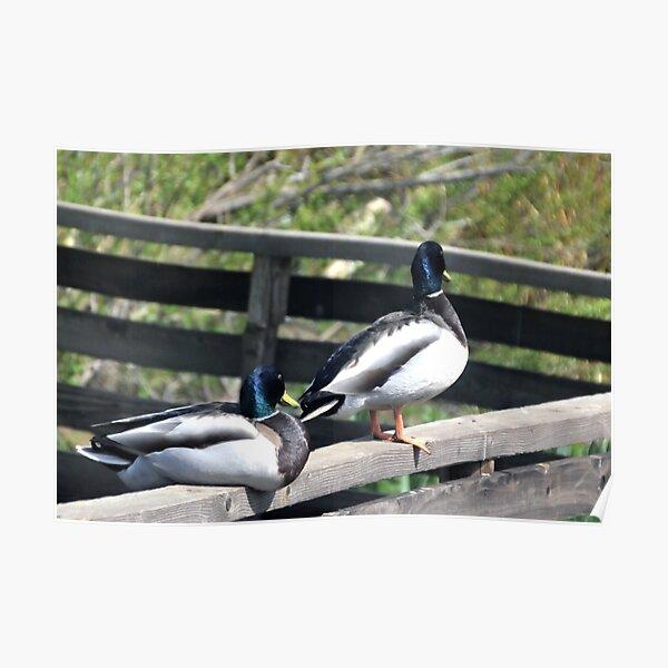 Double Ducks at Abbotsbury Dorset UK Poster