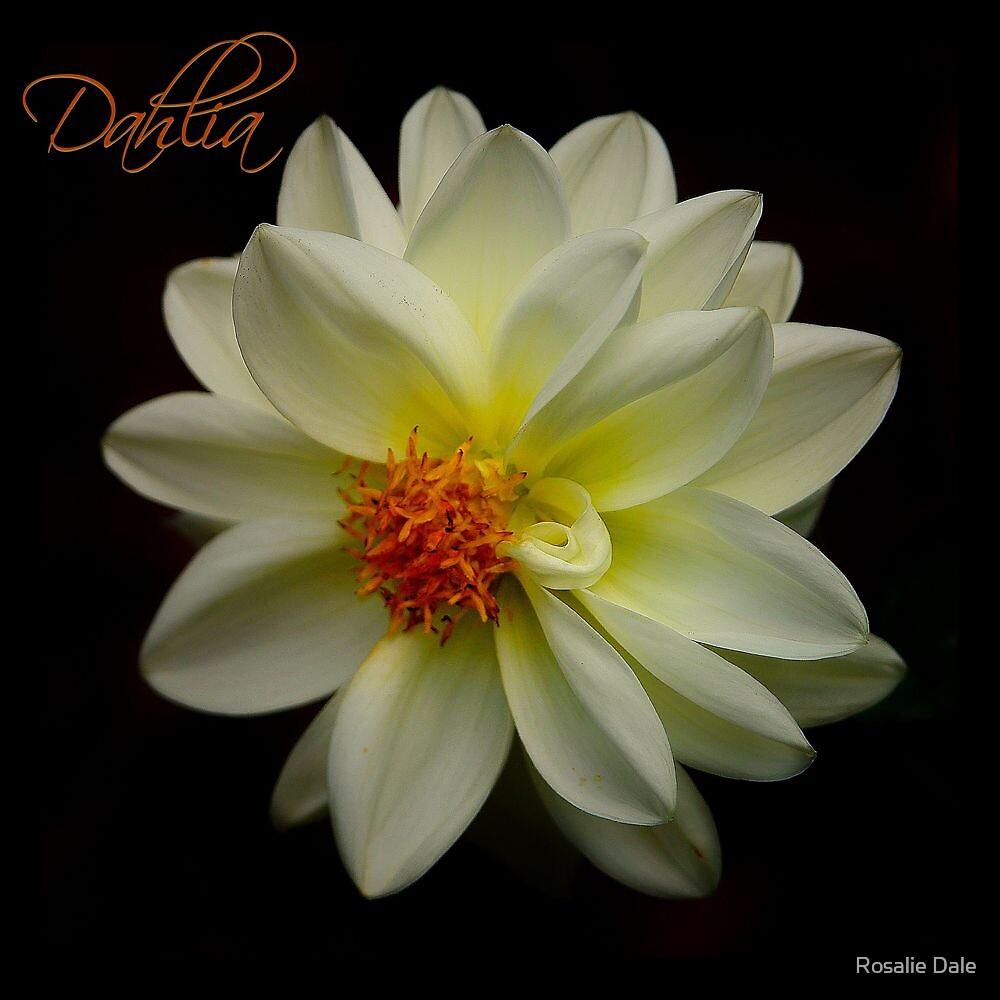 Dahlia by Rosalie Dale