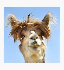 Alpaca  Fotodruck