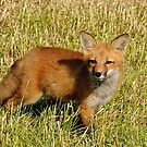 Checking things out!  Red fox kit - Ottawa, Ontario by Tracey  Dryka