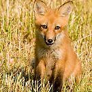 Watcha lookin at!!  Red fox kit - Ottawa, Ontario by Tracey  Dryka