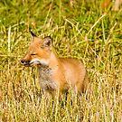 Yummy!!  Red fox kit - Ottawa, Ontario by Tracey  Dryka