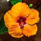 Hibiscus in bloom by Bryan D. Spellman
