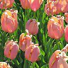 Tulip Time by Linda Miller Gesualdo