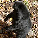 Please Sir more honey!! - Black bear by Tracey  Dryka